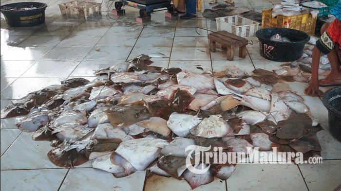Ikan Pari Tanjung di TPI Branta Jadi Favorit Pengusaha Restoran, Ternyata ini Rahasia Kenikmatannya