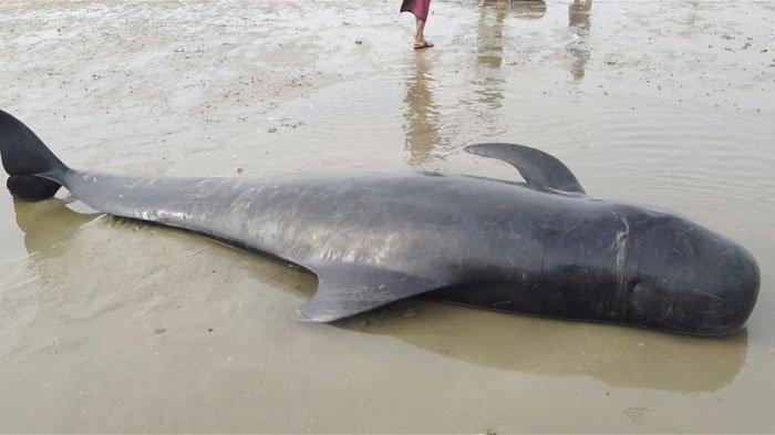 Ikan paus pilot yang terdampar di Pesisir Desa Pangpajung, Kecamatan Modung, Kabupaten Bangkalan, Madura, Jumat (19/2/2021)