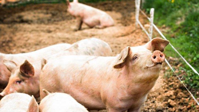 Ini Makna Jika Anda Bermimpi Tentang Hewan Babi, Salah Satunya Melambangkan Hoki dan Keberuntungan