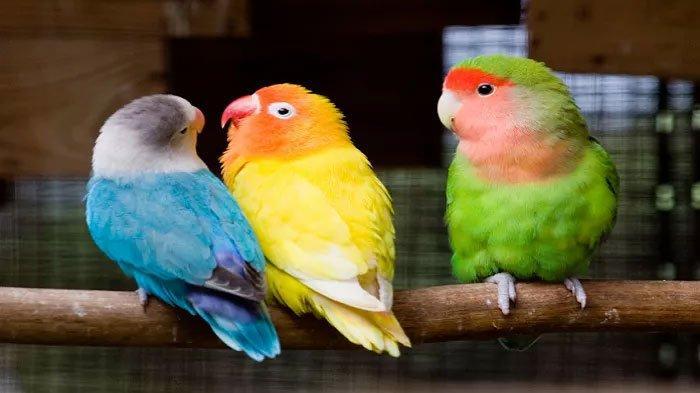 Tips Beternak Burung Lovebird dari Peternaknya Langsung, Bisa Bertelur Efektif dan Hasil Maksimal