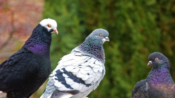 Arti Mimpi Melihat Burung Merpati, Benarkah Pertanda Keharmonisan Keluarga Bagi yang Sudah Nikah?