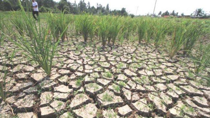 AWAS, Puncak Musim Kemarau di Jawa Timur Terjadi pada Bulan Oktober, Simak Himbauan & Prakiraan BMKG
