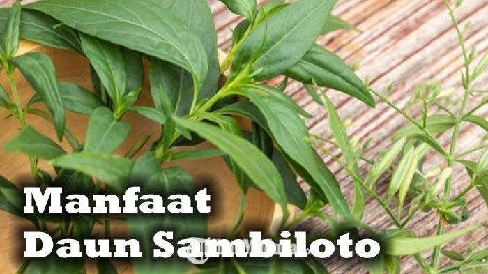 Daun Sambiloto Herbal Pahit Segudang Manfaat, Cegah Virus Corona dan Dipakai Thailand Obati Covid-19