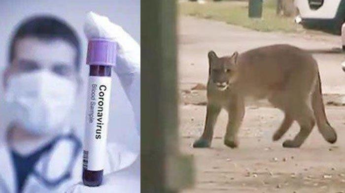 Seekor Puma Liar Berjalan di Jalan Umum di Tengah Wabah Virus Corona, Sempat Panik dan Menghindar