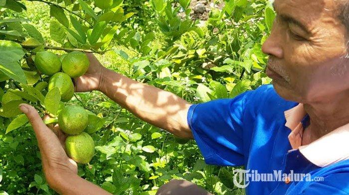 Jeruk Lemon Lokal Laris Diburu, Mengandung Senyawa yang Dipercaya Sebagai Penangkal Virus Corona
