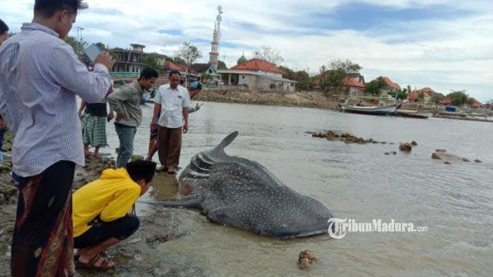 Geger Penemuan Hiu Tutul Ukuran 4 Meter Terdampar di Pantai Ketapang Sampang, Begini Kondisinya