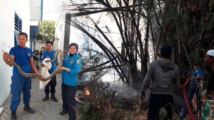 Kebakaran Lahan di Sampang Madura Sebabkan Ular Sepanjang Tiga Meter Bermotif Batik Keluar Sarang