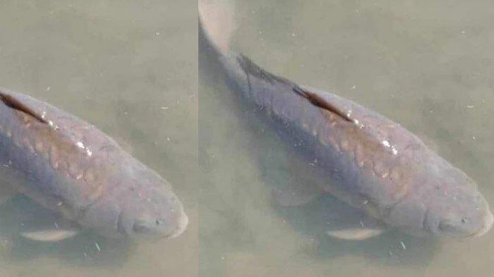 Ikan Usia 22 Tahun Mati Hingga Presiden Ikut Berduka, Dianggap Bawa Keberuntungan, ada Upacara