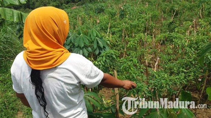 Dinas Pertanian Prediksi Panen Raya Cabai Terjadi Agustus - September,Diharap Bisa Stabilkan Harga