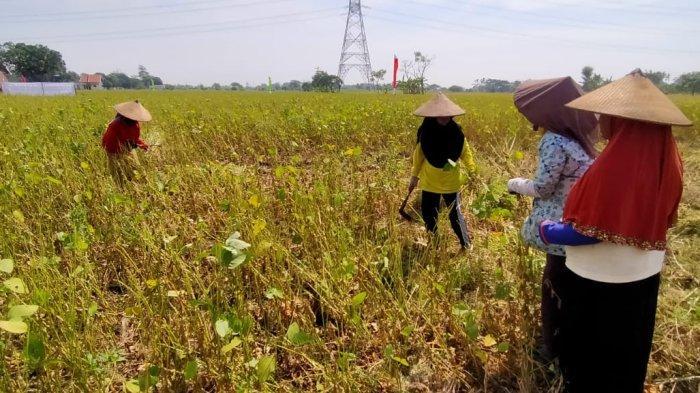 Petani Kedelai Hitam di Pasuruan Mulai Panen Raya, Rata-rata Hasil Biji 2,61 Hektar