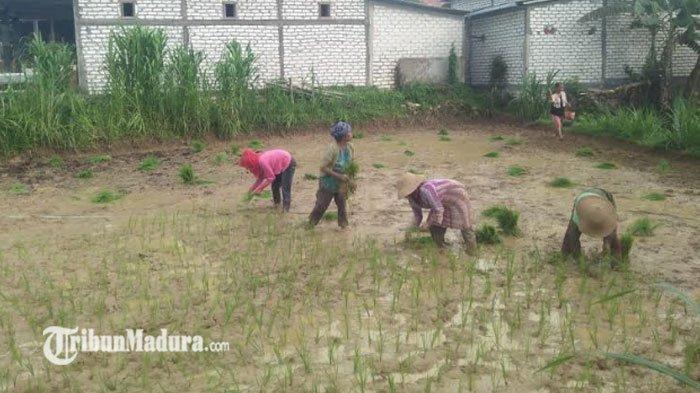 Bikin Pemakaian Pupuk Makin Murah, Simak Tips Ala Dinas Pertanian Sampang di Tengah Kelangkaan Pupuk