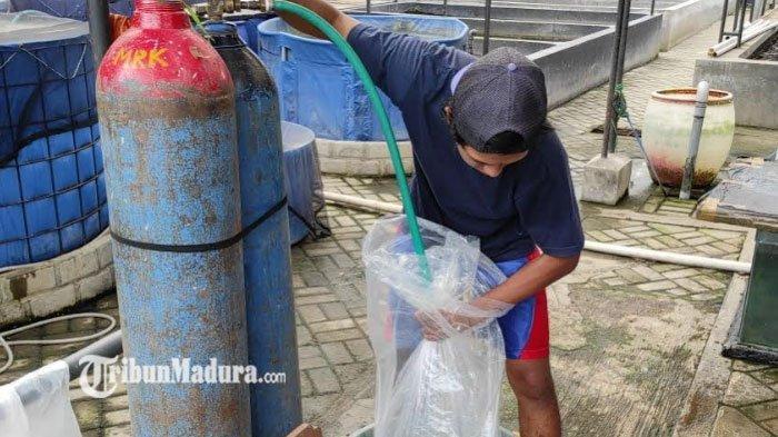 Oksigen Langka Bikin Peternak Ikan Koi Was-Was Tak Bisa Kirim Ikan, ada Syarat yang Tak Mungkin