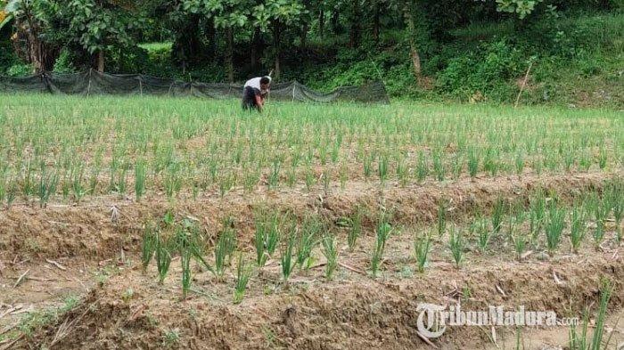 Keuntungannya Sangat Besar, Petani di Kabupaten Sampang Madura Mulai Beralih Tanam Bawang Merah