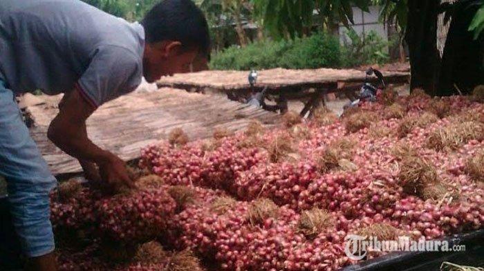 Harga Bawang Merah di Jawa Timur Anjlok dan Hancur Dalam Beberapa Minggu Terakhir ini