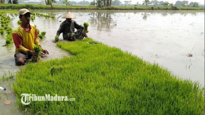 Petani Selalu Menjerit Ketika Masa Panen, Harga Gabah Selalu Anjlok Masih Belum Terselesaikan