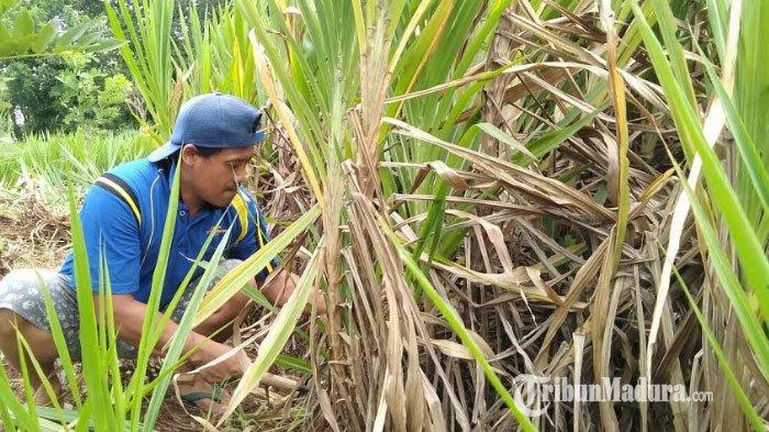 Rumput Odot, Solusi Pakan Ternak Sapi dan Kambing dalam Menghadapi Musim Kemarau di Bangkalan Madura
