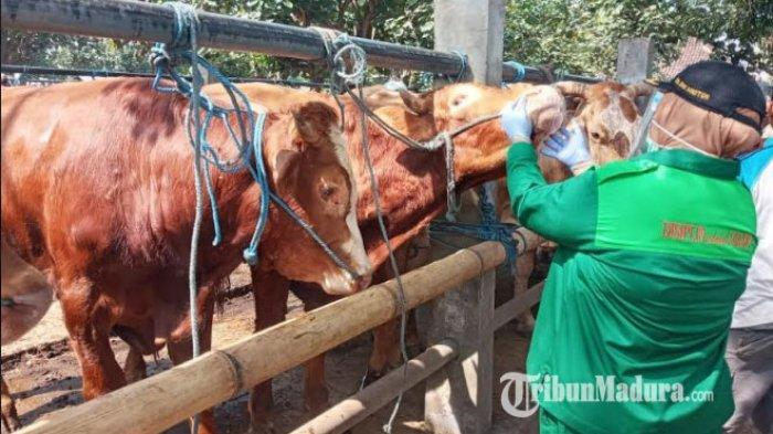 Petugas Dinas Ketahanan Pangan dan Pertanian Temukan Penyakit Hidung dan Mulut pada Hewan Kurban