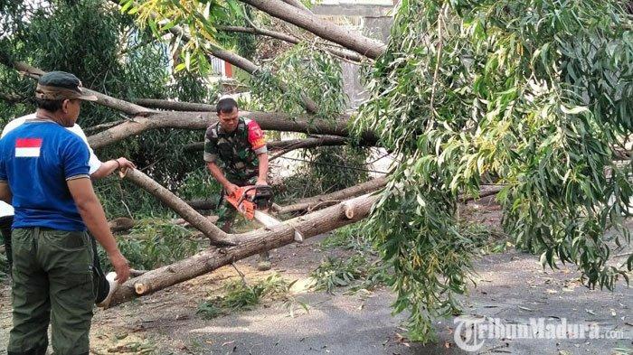Jember Kembali Dilanda Angin Kencang, Sejumlah Pohon Tumbang hingga Membuat Kemacetan Lalu Lintas
