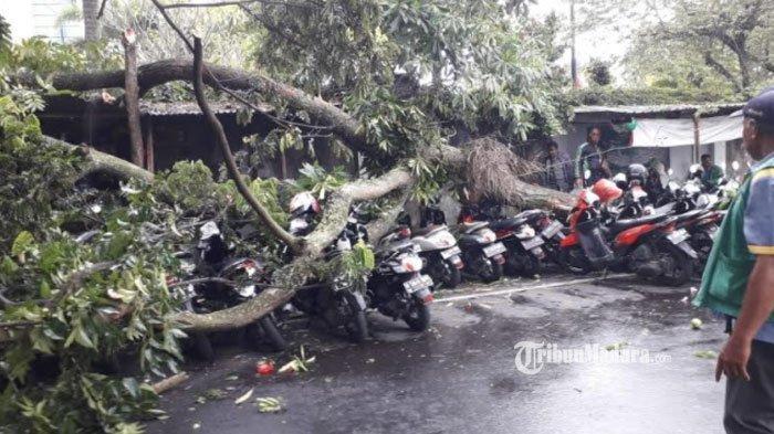 Pohon Trembesi Setinggi 7 Meter Mendadak Tumbang di Parkiran Luar MOG Malang, Timpa 7 Sepeda Motor