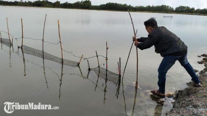 Pamekasan Diguyur Hujan Berdampak Positif Bagi Pembudidaya Ikan, Benih Ikan Mulai Ditebar