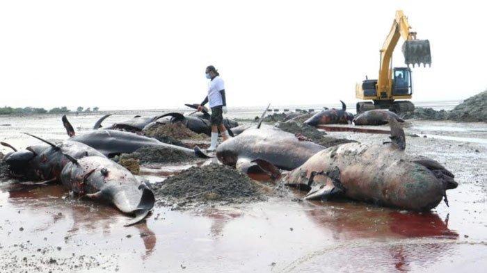 51 Paus yang Terdampar di Bangkalan Mati, Pemprov Jatim Kirim 2 Eskavator untuk Kubur Bangkai Ikan