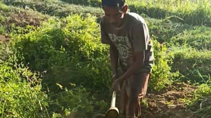Petani di Sampang Keluhkan Harga Cabai Anjlok di Pasaran hingga Babat Habis Tanaman Cabai di Lahan
