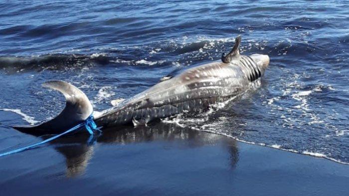 Hiu Tutul Sepanjang 4 Meter Mati Terdampar di Pantai Selatan Jember, Diduga Terjerat Jaring Nelayan