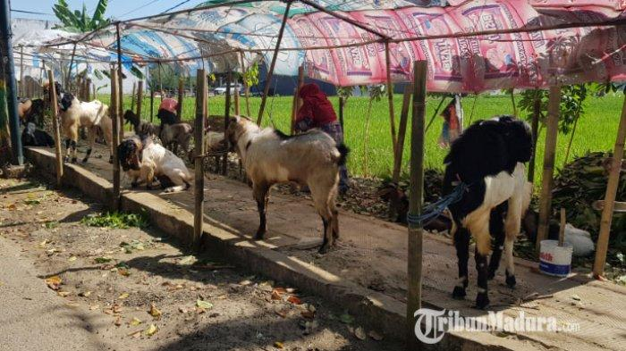 Penjualan Hewan Kurban di Kabupaten Sumenep Madura Menurun hingga 50 Persen Jelang Idul Adha 2020