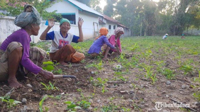 Semangat Gotong Royong Warga Kombang Sumenep saat Musim Tanam Jagung, Kompak Bersihkan Rumput Liar