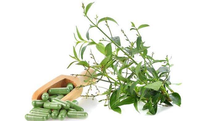 Mengenal Daun Sambiloto, Suplemen Herbal Penangkal Covid-19 hingga Ragam Khasiat yang Dimilikinya