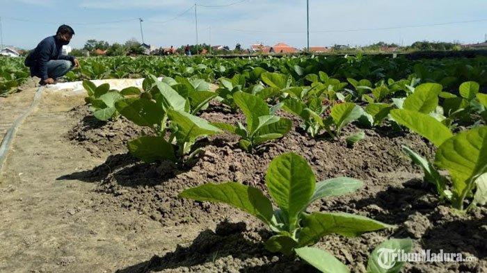 tanaman-tembakau-di-kelurahan-gunung-sekar1.jpg