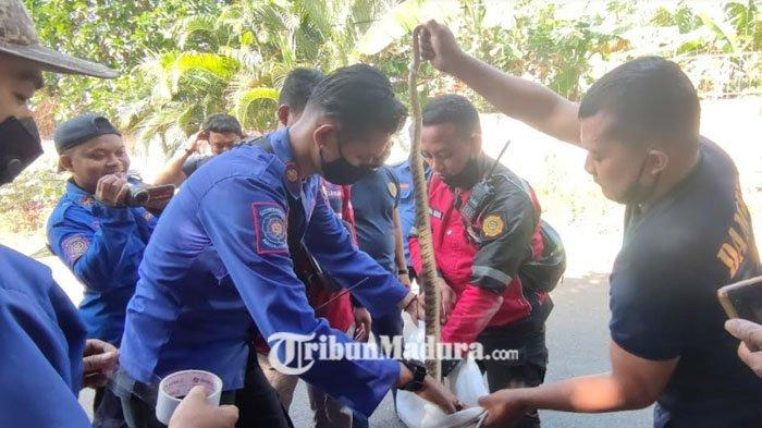 Geger Temuan Ular Kobra Beserta Sarangnya, Petugas Damkar Kota Probolinggo Berhasil Evakuasi