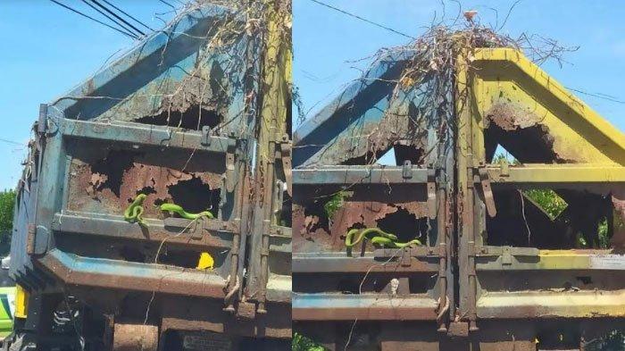 Ular Hijau Nyembul dan Bergerak-Gerak dari Boks Truk Pengangkut Sampah di Gresik, Videonya Viral