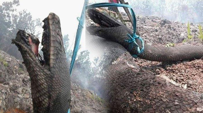 Penemuan Ular Piton yang Mirip Anaconda, Hangus Akibat Kebakaran Hutan, Begini Fakta-Faktanya
