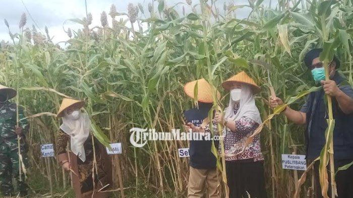 Wabub Sumenep, Dewi Kholifah Ikut Panen Tanaman Sorgum di Situbondo