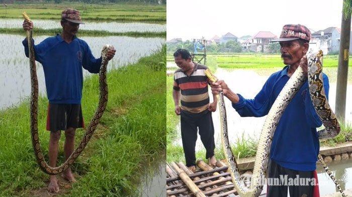 Ular Sanca Sepanjang 3 Meter yang Ditangkap Warga Sumenep Akan Dijual