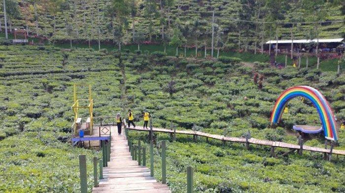 Tak Perlu ke Jawa Barat, Jember Juga Punya Kebun Teh Wisata Agro Rengganis Kebun Teh Gunung Gambir