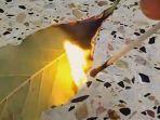 daun-salam-dibakar-aromanya-punya-banyak-khasiat.jpg