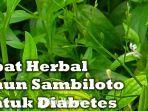 daun-sambiloto-untuk-penderita-diabetes-juga-bisa-sembuhkan-gejala-covid-19.jpg