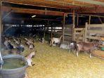ilustrasi-kandang-kambing-domba.jpg
