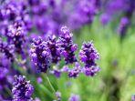 ilustrasi-tanaman-lavender.jpg