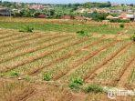 lahan-petani-bawang-merah-di-kecamatan-batumarmar1.jpg