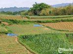 lahan-sawah-petani-kecamatan-batumarmar.jpg