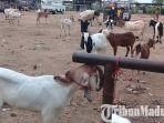 pasar-hewan-sampang-penjualan-kambing.jpg