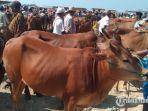 pedagang-sapi-kurban-di-pasar-hewan-sampang-desa-aing-sareh-kecamatankabupaten-sampang.jpg