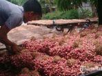 petani-bawang-merah-di-nganjuk-siap-menjual-hasil-panennya-ke-pasar.jpg