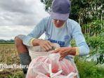 petani-cabai-merah-di-ponorogo-keluhkan-harga-cabai-yang-anjlok-imbas-ppkm.jpg