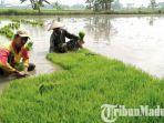 petani-di-desa-bilaporah-kecamatan-socah-kabupaten-bangkalan-di-sawah.jpg