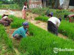 petani-di-kabupaten-sampang-madura-saat-menanam-padi-senin-1622021.jpg