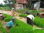 petani-di-kecamatan-robatal-kabupaten-sampang-madura-saat-menanam-padi.jpg